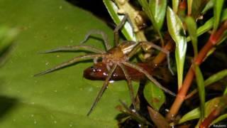 Aranhas que comem peixes (Reuters)