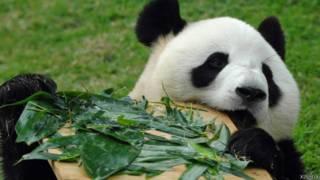 大熊貓心心在澳門石排灣大熊貓館內(新華社圖片26/7/2011)