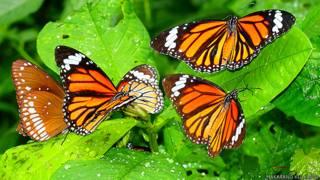 तितलियां