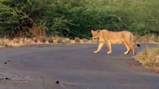 गुजरात, गिर, राज्य राजमार्ग पर शेरनी