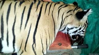 बाघ का शव