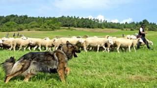 भेंड़ों की निगरानी करता कुत्ता