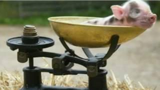 Porco em balança