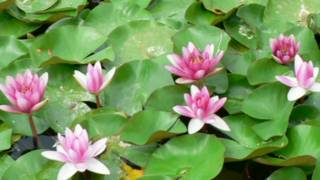 Pink water lilies