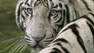 Tigre blanco (foto de archivo)