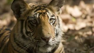 Непальский тигр
