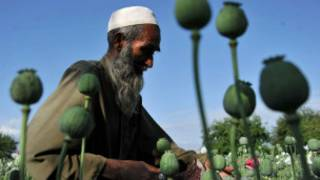 _opium_poppy_cultivation_