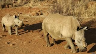 Rinocerontes en Sudáfrica