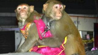 बंदर-बंदरिया की शादी