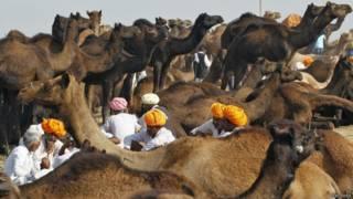 राजस्थान, पुष्कर ऊँट मेला