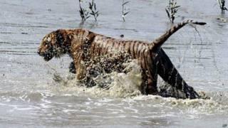 Tigre de bengala (Foto: AP)