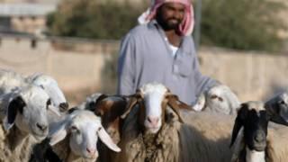 सउदी अरब में बकरियां चराता एक चरवाहा