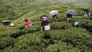 चाय बागान कर्मचारी