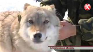 क़ज़ाक़िस्तान, भेड़िया