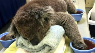 Avustralya'da yangından kurtarılan koala