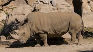 Amahembe ya rhinoceros agurwa amahera menshi cane ku bayaronderako imiti muri Aziya