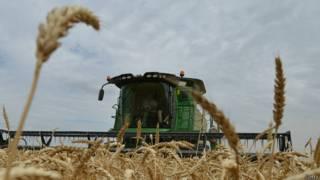 Зерноуборочный комбайн на пшеничном поле