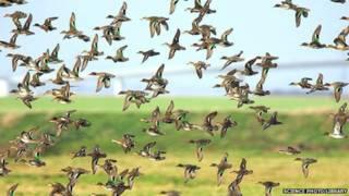 طيور مهاجرة