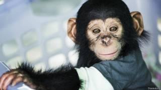 Кто умнее: младенец или шимпанзе?