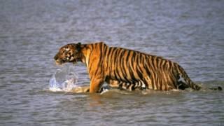 नरभक्षी बाघ