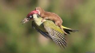 Дятел, летящий с лаской на спине