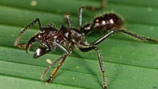 Hormigas balas