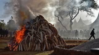 Plus de cent tonnes d'ivoire ont été incinérées par les présidents kényan et gabonais.