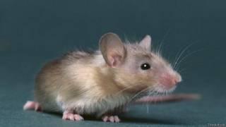 नर चूहा