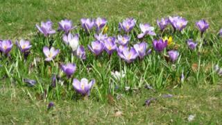 Crocus flowers grow in the spring sunshine