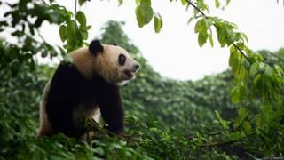 四川境內的大熊貓(資料圖片)