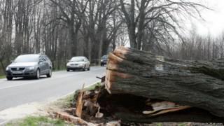 Уничтоженное дерево в Калининградской области