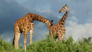 Жираф пробует на вкус мочу самки