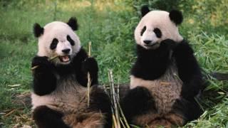 Две панды едят бамбук