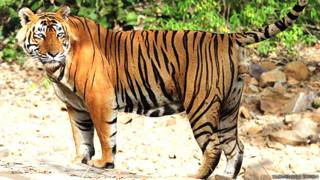 टाइगर उस्ताद