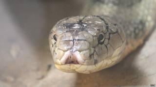 किंग कोबरा