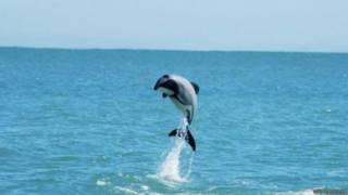 дельфин Мауи