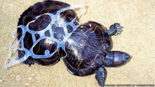 A triste história da tartaruga deformada pela poluição