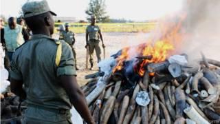 Autoridades moçambicanas queimam chifres obtidos ilegalmente   Foto: Getty