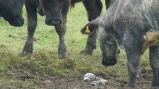¿Cómo terminó una foca recién nacida en un potrero lleno de vacas?