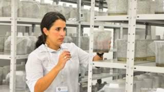 El ejército de millones de mosquitos transgénicos que combate el dengue en Brasil