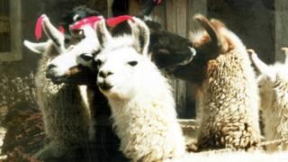 ¿Por qué murieron más de 170.000 alpacas en Perú?