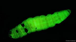 Larva de traça morta infectada por Photorhabdus (Foto: Dante Fenolio?SPL)