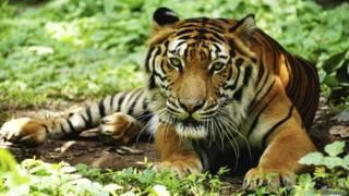 Tigre-de-bengala (Foto: Thinkstock)