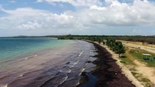 ¿De dónde vienen las algas que están invadiendo el Caribe?