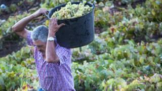 Испанский крестьянин собирает виноград