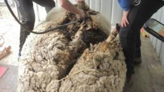 Овца в процессе стрижки