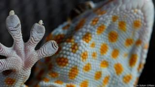 Estudo revela o segredo da aderência das lagartixas