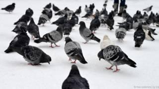 Por que nunca vemos os bebês dos pombos?