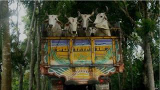भारत से बांग्लादेश ले जाई जा रही गायें