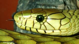 Por que bebês não têm medo de cobras?